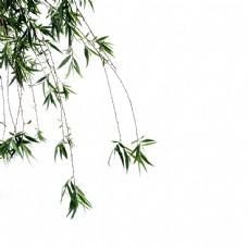 柳叶柳树柳枝