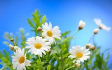 蓝天与花背景