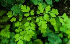 露珠 绿叶
