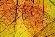 黄色透明叶子图图片