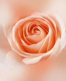 花朵待放的花朵玫瑰花素材