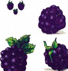 手绘黑莓树莓