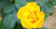 黄色月季花