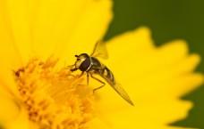 蜜蜂矢车菊