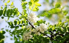 洋槐花的季节