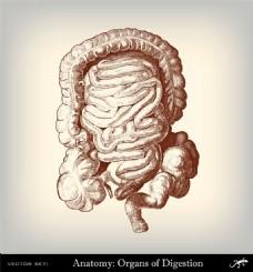 人体肠胃素描图片