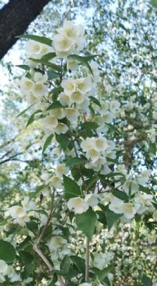 颐和园盛放的茉莉花