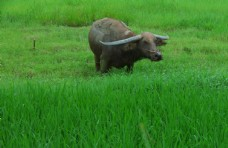 田园耕牛 水牛牧草