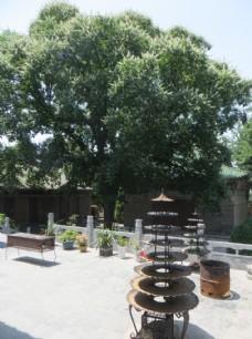 永泰寺 娑罗树