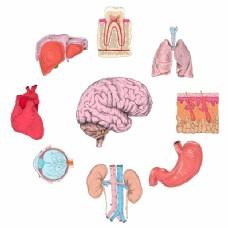 人体器官组