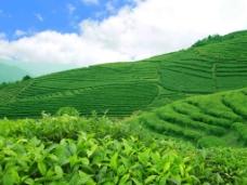 茶山绿色背景psd素材