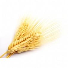 金黄麦穗元素