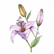 水彩绘百合花