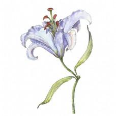 紫色水彩绘百合花