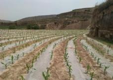 覆膜玉米田景色
