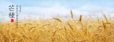芒种小麦黄色背景psd