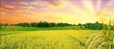 秋收水稻背景设计