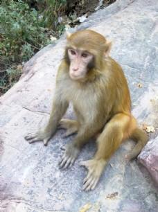一只凝视远方的猴子