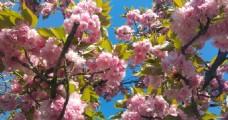 日本樱花摄影